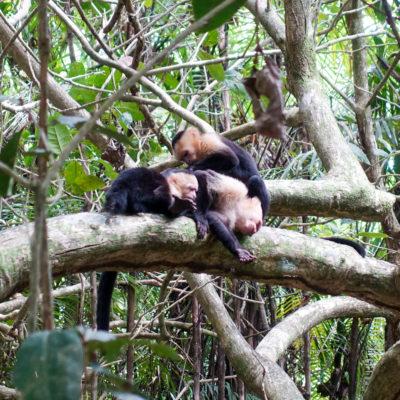 Mono cara blanca ou Singe capucin